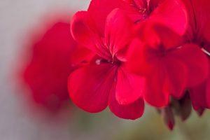 h-e-geranium