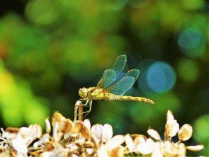 libellule-nature
