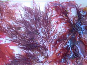 algues-rouges